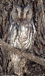 Owl as tree bark, interesting...