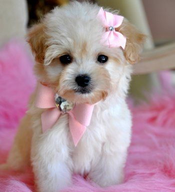 Bows on a puppy!