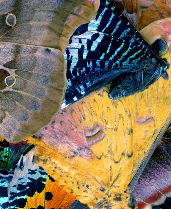 Organic abstractions of butterfly and moth wings