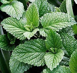 How to Harvest and Use Mint - explains how to dry mint leaves. when plant reaches 8 inches tall cut 6 inches.
