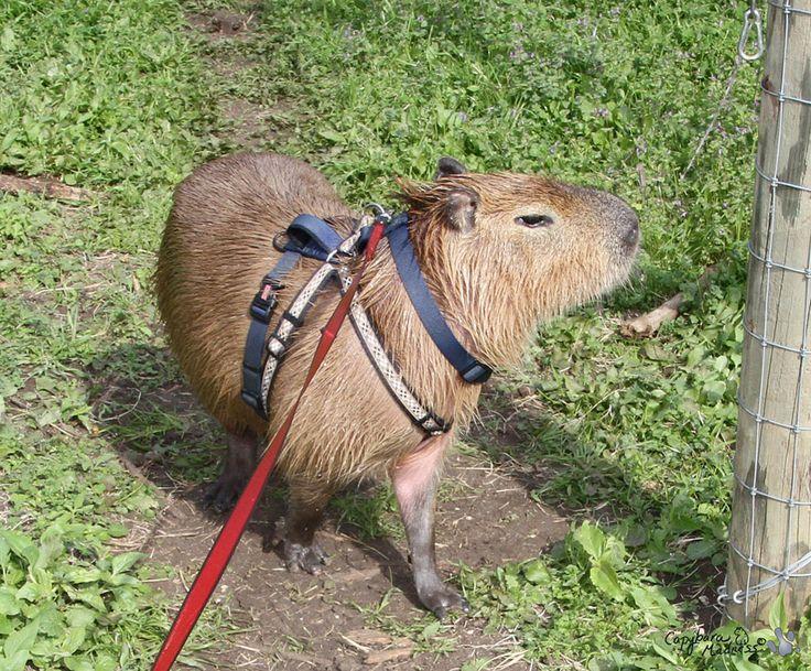 "Capybara pet"" | Capybaras | Pinterest Zoo Animals Toys"