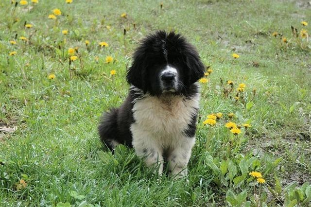 Saint Bernewfie - Saint Bernard/Newfoundland mix. In love; so excited to get one!