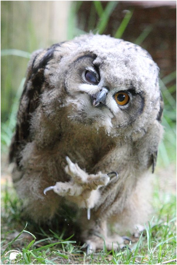 A Spooky Great Horned Owl For Halloween  Feathered