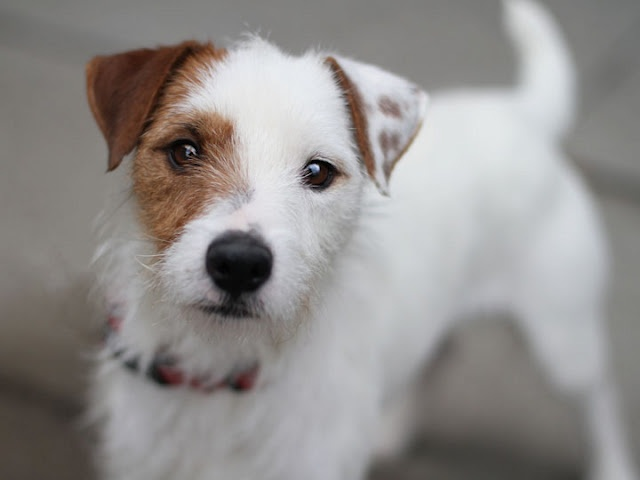 Jack Russell Long Hair Long haired jack russell