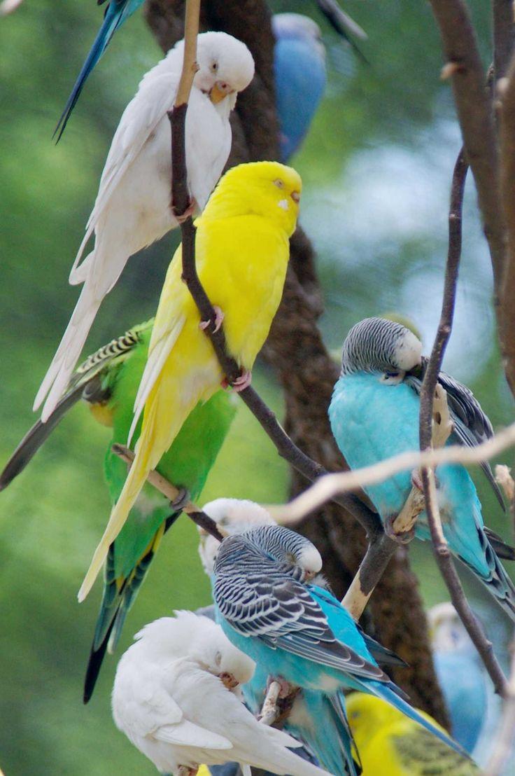 parakeet colors - photo #3