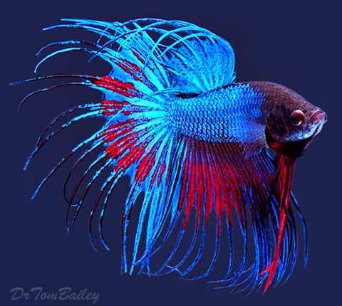 Blue red crowntail betta crowntail bettas pinterest for Betta fish names male blue