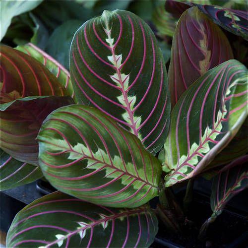Pin by mary hanna on beautiful houseplants pinterest for Maranta pianta