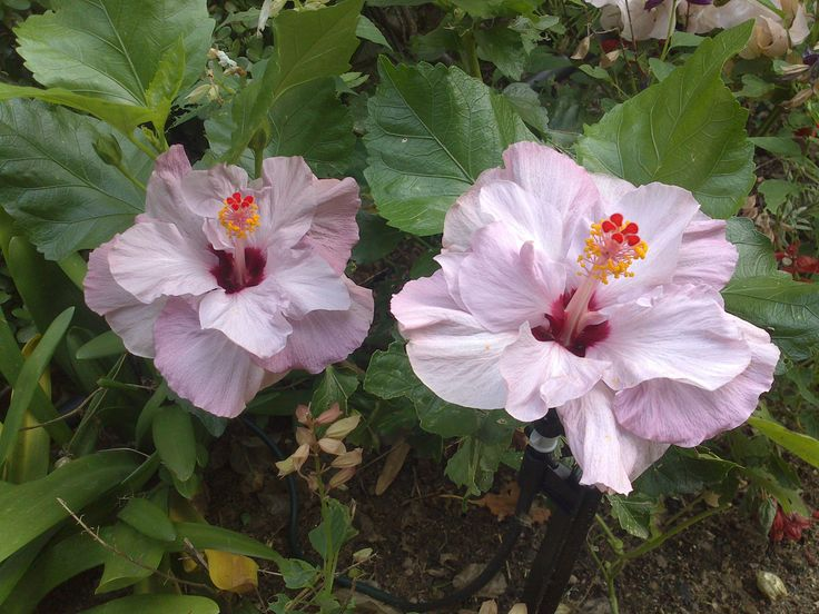 Purple Hibiscus Backyard Snob : Purple hibiscus, Ebens garden  Beachy  Pinterest