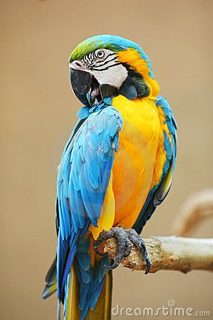pin blue macaw bird - photo #22