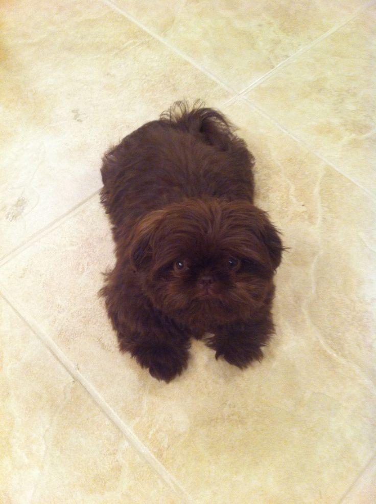 Chocolate Shih Tzu puppy | Cute puppies | Pinterest