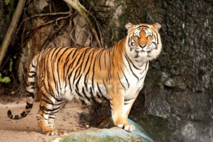 tiger Google Search (CJ) Illustration Ideas Pinterest