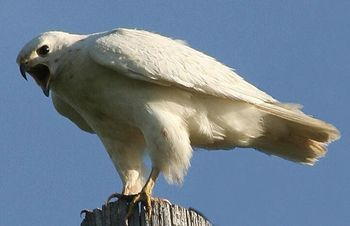 albino eagle  hughcurtler