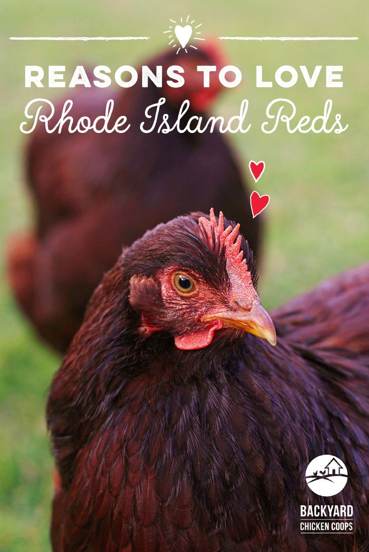 Red chicken breeds