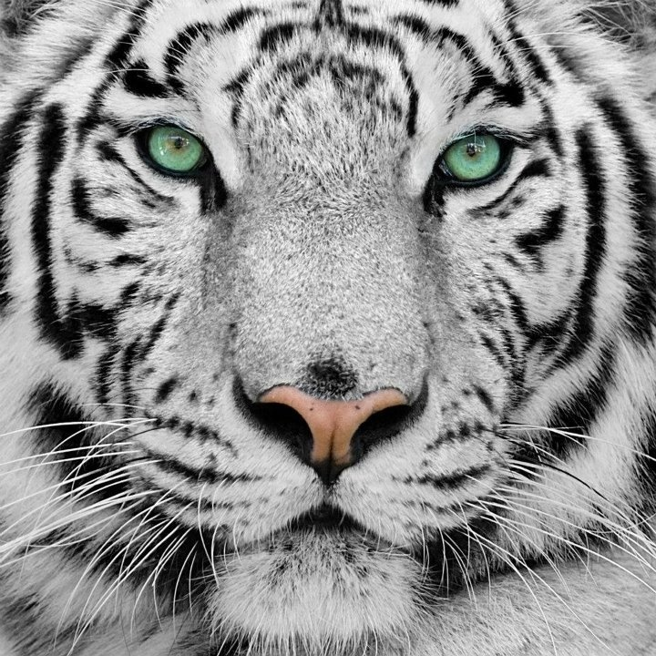 White Tiger with green eyesWhite Tigers With Green Eyes