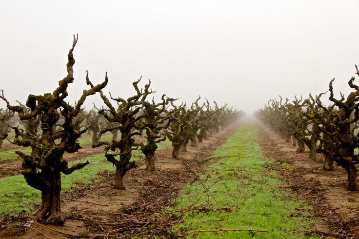 Maley s Wegat Vineyard in February 2014  Photography by Randy Caparoso