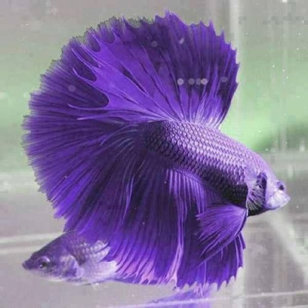 Half moon violet betta fish the amazing wild nature for Wild betta fish
