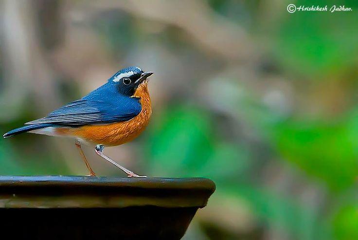 Indian Blue Robin (Luscinia brunnea), India