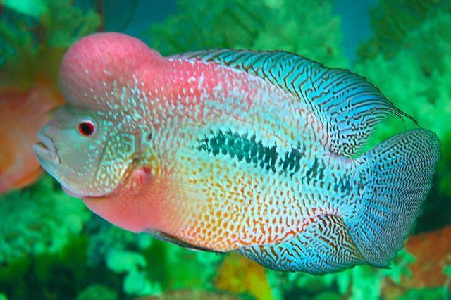 flowerhorn fish Lohan/flowerhorn/???? Pinterest