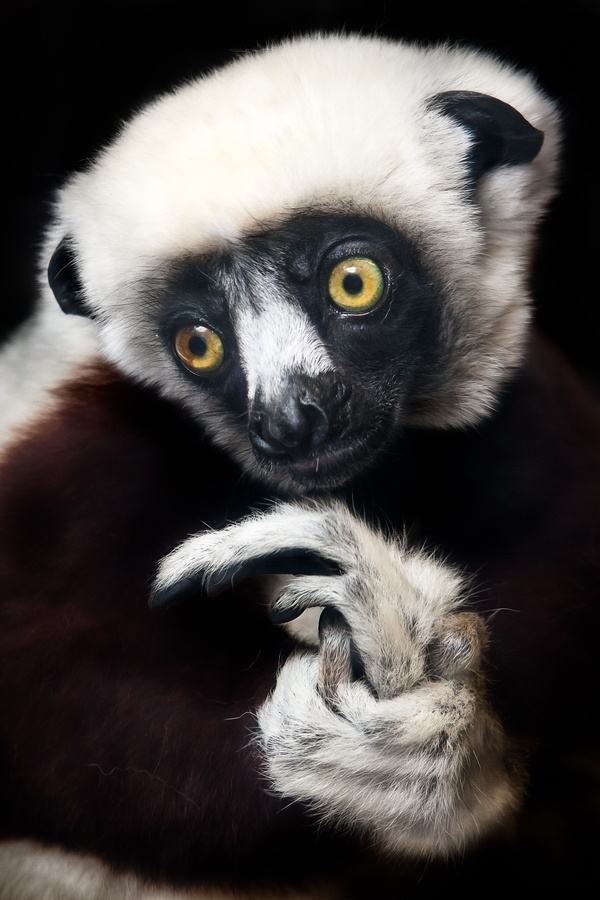 solo beats dr dre Sifaka in Madagascar  animals  nature