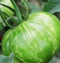 Green Zebra tomato, great for the Pacific NW garden and a tasty tom too.