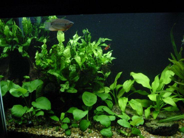 Low light aquatic plants google search aquarium plants for Best aquatic plants