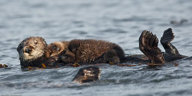 A mother otter holding her pup on her belly.