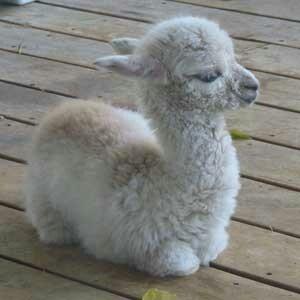 Cute Baby Llamas