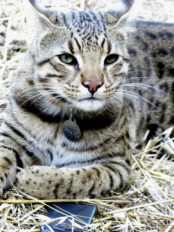 savannah cats I sport a coat that really stands out when compared to other pedigreed domestic breeds apart from flaunting striking bold spots that can be elongated, oval or round, it also features a few prominent bands and stripes that take my exotic look up a notch.