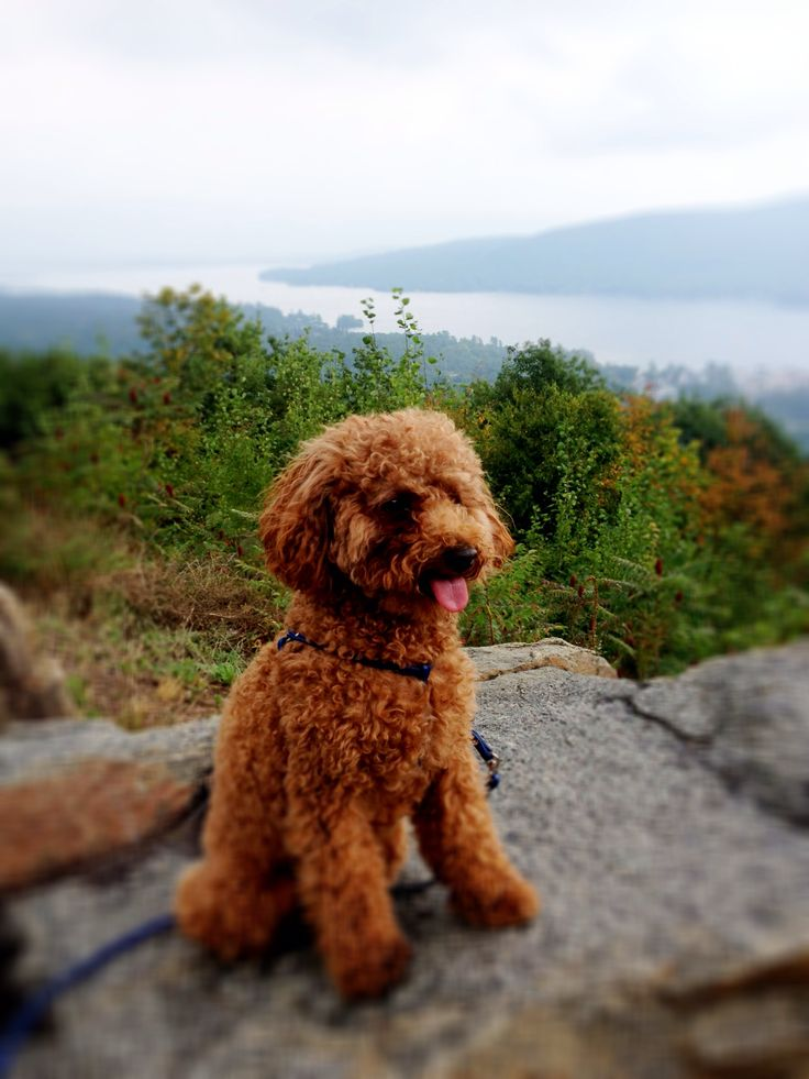 Red Toy Poodle Full Grown Red Toy Poodle | Cutie...