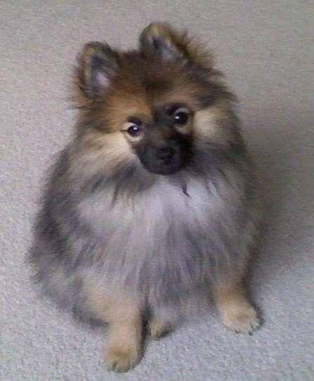 Sable Pomeranian Puppy | Cute Stuff | Pinterest