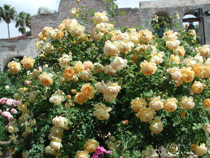 david austin golden celebration rose roses for backyard. Black Bedroom Furniture Sets. Home Design Ideas