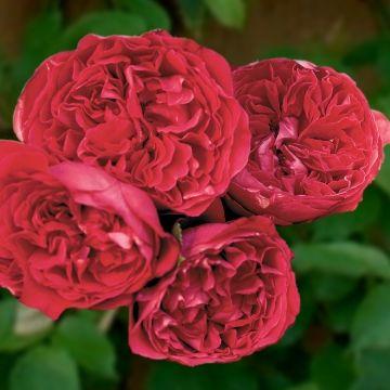 red eden climbing david austin rose a flower roses. Black Bedroom Furniture Sets. Home Design Ideas
