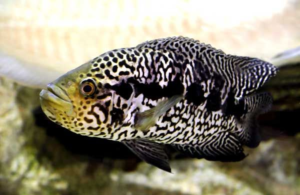 Managuense Cichlid...I miss my Jagar....He was over 13 inches long ...