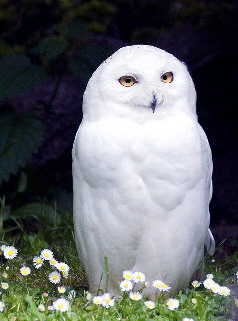 Snowy Owl - Absolutely Stunning !