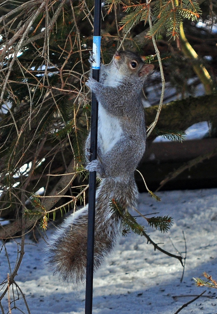 Fire Squirrel in Training | The art of nature | Pinterest
