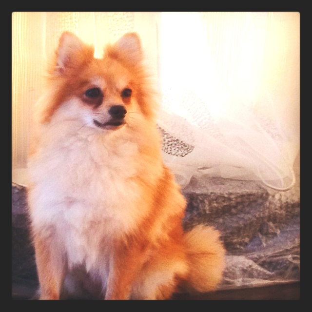 Husky Mix Pomeranian Poodle Mix To Download Pomeranian ...