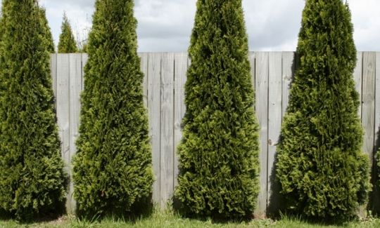 Pin by rosie benjamin on my green thumb pinterest - Shrubbery for privacy ...
