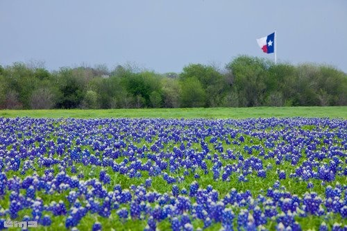 Field of bluebonnets near Waco