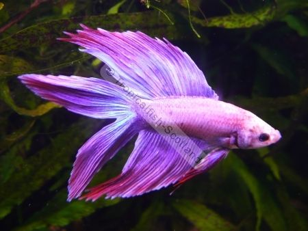 Pin by laurie moore on purple pinterest for Purple betta fish