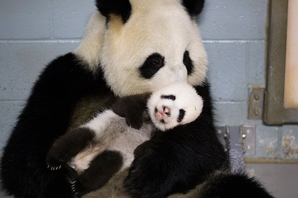 Zoo Atlanta Panda Cam - this is the best picture yet. Such a loving ...