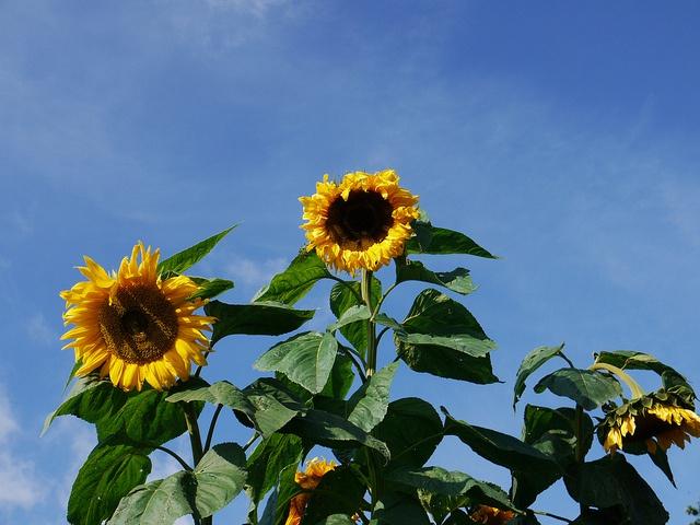 Sunflowers by nilsw, via Flickr
