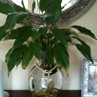 Great idea for a peace lily and beta fish images frompo for Peace lily betta fish