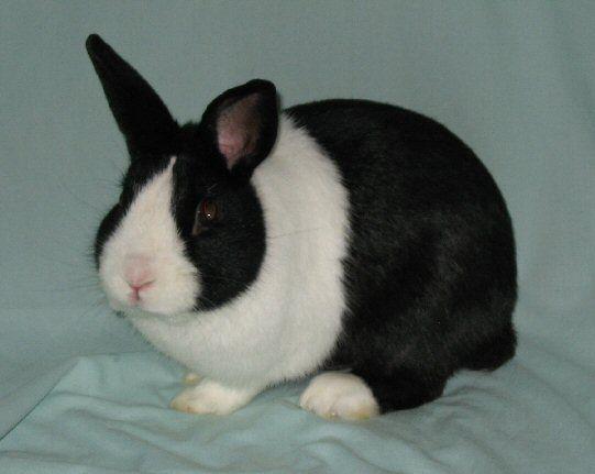 dutch rabbit rabbits pinterest