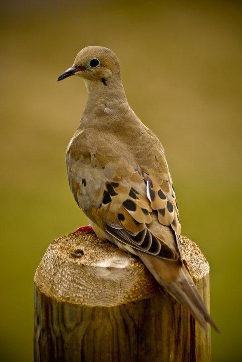 Mourning Dove | Birds | Pinterest