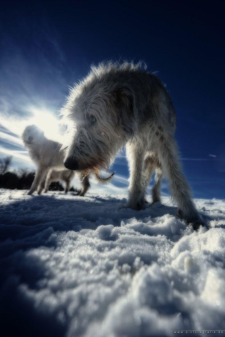 L'Irish Wolfhound F3f7d18e98412cc08facf2abe44b50f0