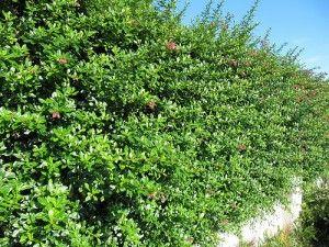 plants for shade Escallonia rubra macrantha hedge | 300 x 225 · 30 kB · jpeg