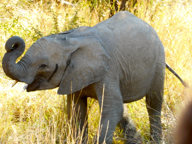 Baby elephant in South Africa !