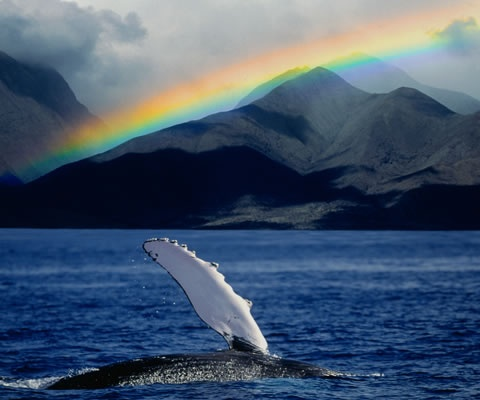 Maui Whale Watching Tours | Humpback Whale Watch Cruises