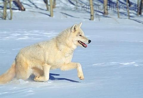 beautiful blue white wolf - photo #18
