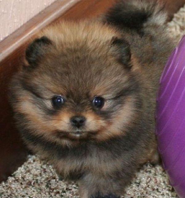 pomeranian puppies sable | Zoe Fans Blog | Cute Baby Animals ...